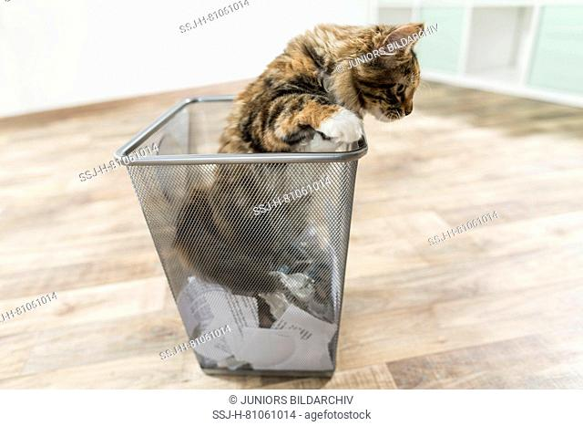 American Longhair, Maine Coon. Kitten exploring a waste basket. Germany. Restriction: Not for guidebooks for pet care until 9/2018
