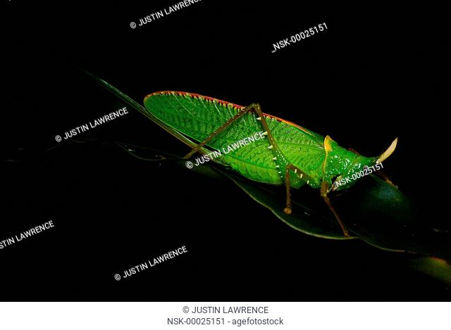 Rhinoceros Katydid (Copiphora rhinoceros) waiting on a leaf, Panama