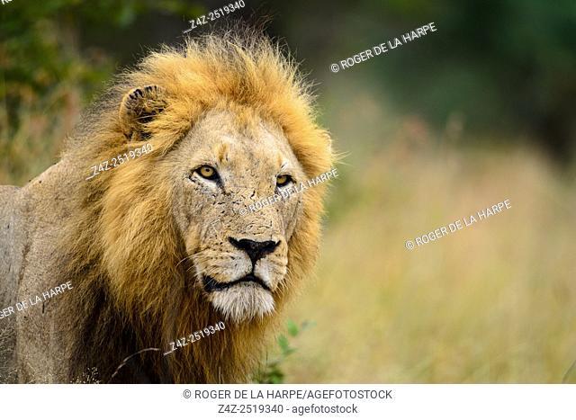 Lion (Panthera leo). Timbavati Game Reserve. Limpopo Province. South Africa