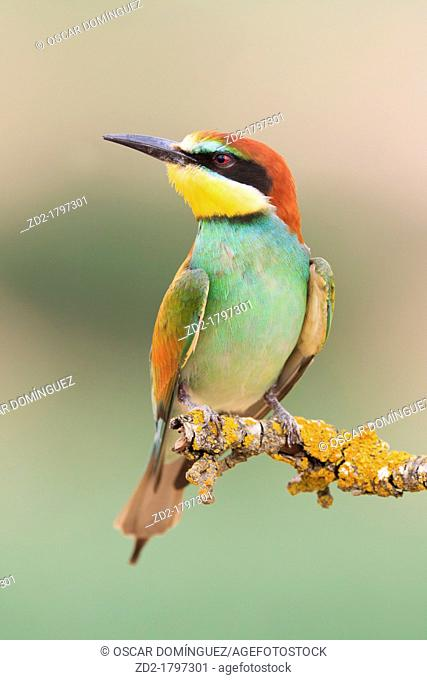 European Bee-eater Merops apiaster perched on branch  Lleida  Catalonia  Spain