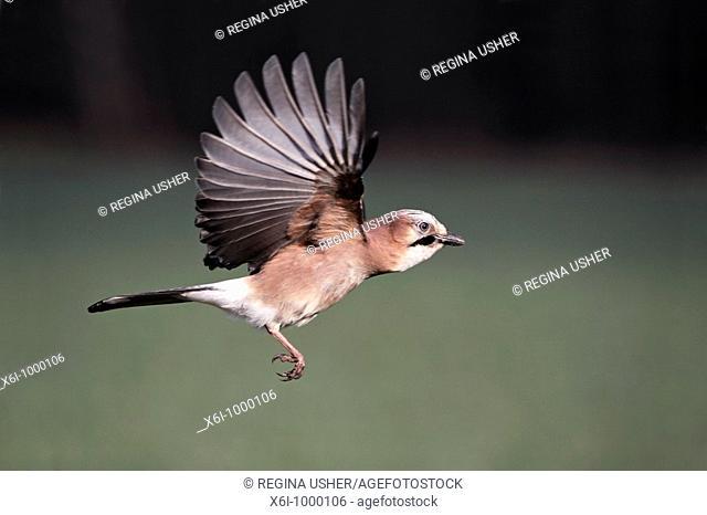Jay Garrulus glandarius, in flight, Germany