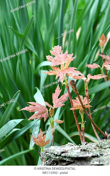 Red new Maple leaves against Daffodil foliage