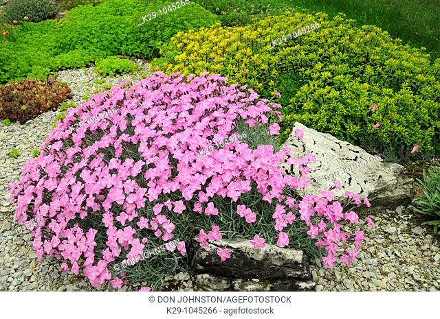 Alpine garden plants in bloom Alpine pink Dianthus- Mrs  Holt and Sedum stenopetalum- Douglassii Hardy