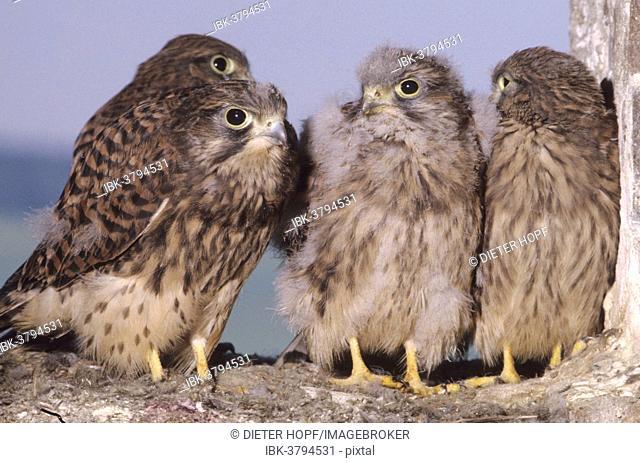 Kestrels (Falco tinnunculus), nearly fledged young falcons, Allgaeu, Bavaria, Germany