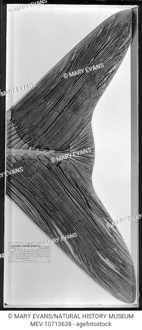 Fossilised Tail Of A Leedsichthys Problematicus The Giant Middle Jurassic Fish Which Is The Largest Stock Photo Picture And Rights Managed Image Pic Mev 10713638 Agefotostock
