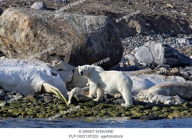 Scavenging Polar bear (Ursus maritimus / Thalarctos maritimus) feeding on carcass of stranded dead whale along the Svalbard coast, Spitsbergen, Norway