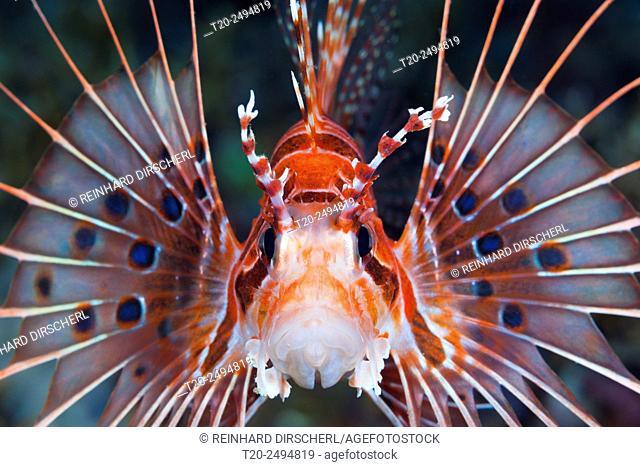 Spotfin Lionfish, Pterois antennata, Florida Islands, Solomon Islands