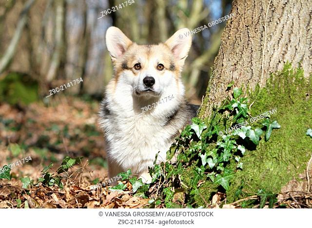 Dog Pembroke Welsh corgi / adult standing behind a tree