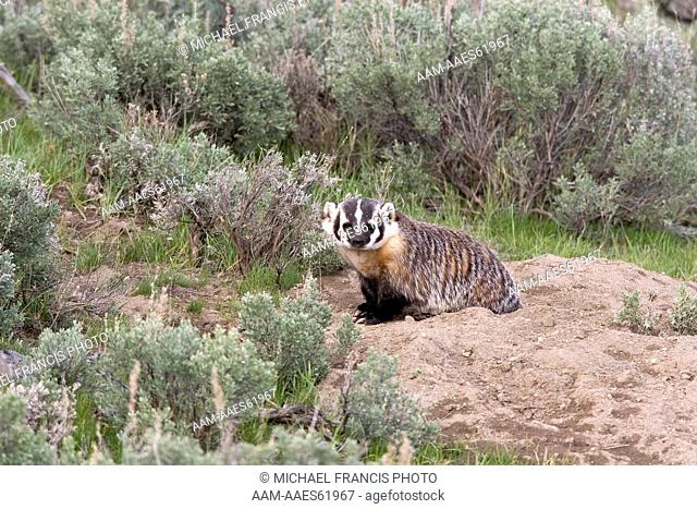 American Badger (Taxidea taxus) at densite in sagebrush, Yellowstone NP, WY