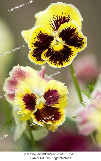 Pansy, Viola x wittrockiana. Two flowers with areas of dark purple-brown radiating from the centres of yellow petals