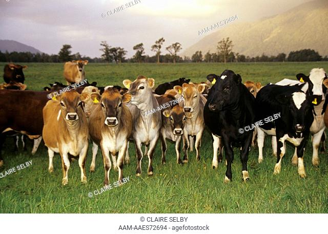 Dairy Herd of Cattle: Jerseys, Holstein- Friesians and Crosses, Westland, New Zealand, 11/00