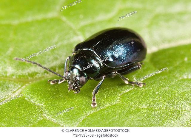 Flea Beetle Altica sp on a Garlic Mustard leaf, West Harrison, Westchester County, New York, USA