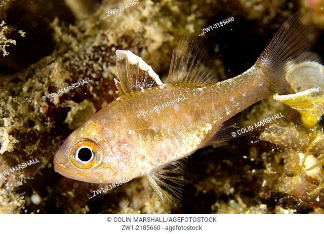 Frostfin Cardinalfish (Ostorhinchus hoevenii), Wainilu dive site, Rinca Island, Komodo National Park, Indonesia