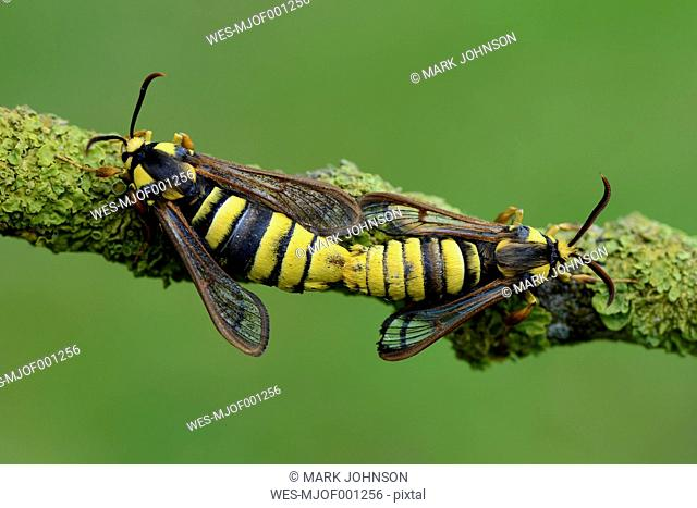 Mating Hornet Clearwings on twig