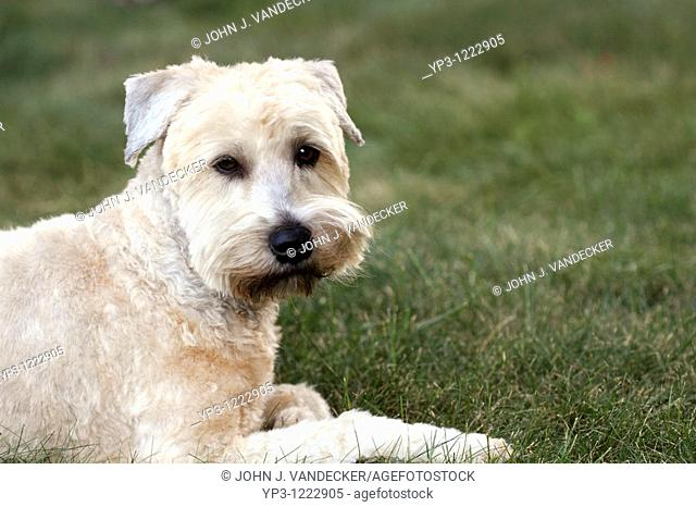 A Soft Coated Wheaten Terrier looking quizzical  The photograph is of the Photographer's pet