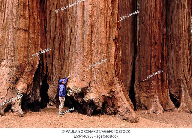 Hiker touching Big Tree (Sequoiadendron giganteum). Parker Grove. Sequoia National Park. California. USA