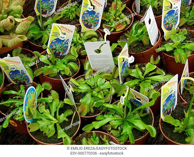 Fly trap Insectivorous plant Dionaea muscipula