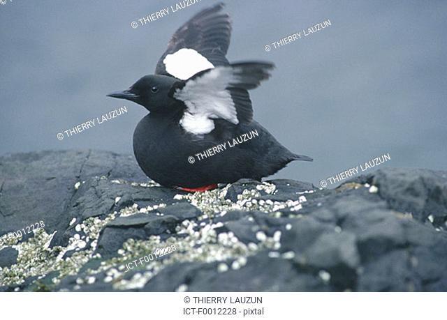 Iceland, Flatey, black guillemot