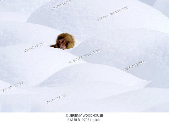 Japanese macaque standing in snow
