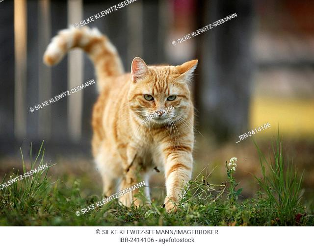 Red tabby cat walking through a meadow