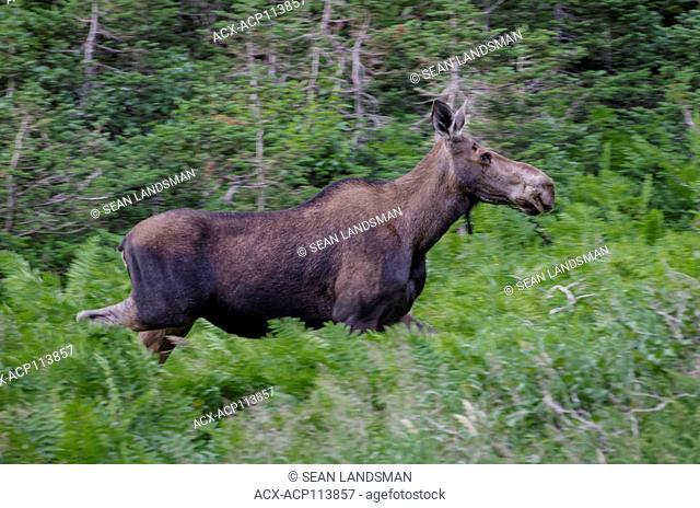 Moose, Alces alces, Gros Morne National Park, UNESCO World Heritage Site, Newfoundland, Canada