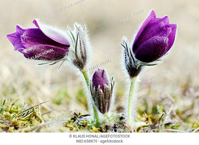 Pasque Flowers or Common Pasque flowers (Pulsatilla vulgaris) blooming in spring
