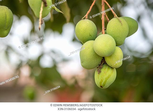 A cluster of green mango's (Mangifera indica) grow on a tree in Ganta, Liberia