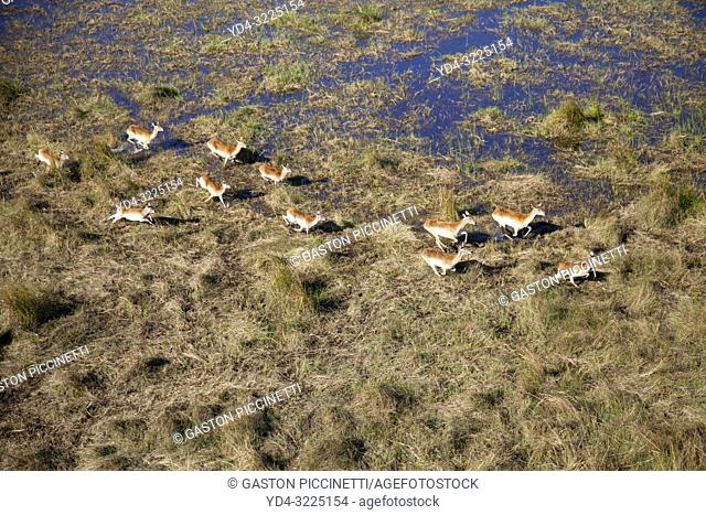 Red Lechwe (Kobus leche), running in the floodplain, aerial view. Okavango Delta, Moremi Game Reserve, Botswana. The Okavango Delta is home to a rich array of...