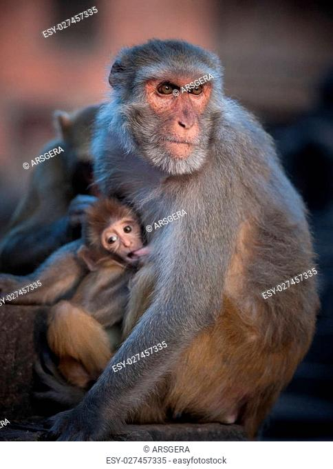 Mother Rhesus macaque nursing its baby. Shallow DOF, focus on female
