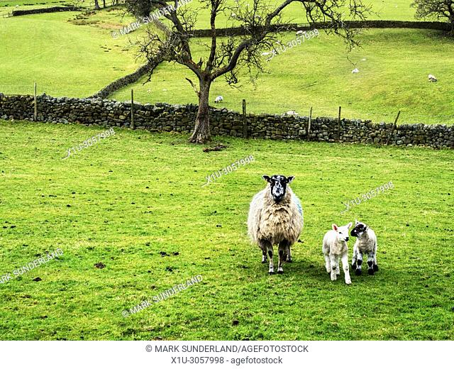 Ewe with lambs in Nidderdale from Wath Road near Pateley Bridge North Yorkshire England