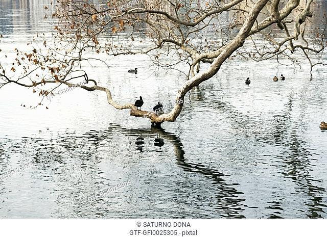 Waterfowl and branches, Lugano Lake, Switzerland