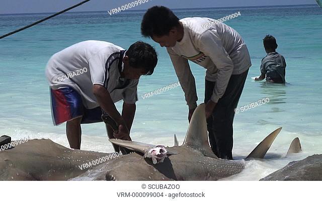 Shark fining of Guitar shark in shallows, Pulau Mangalum, Sabah, Borneo