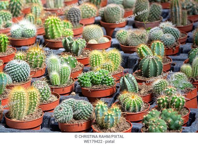 Succulent cactus plants in pots. Spring garden series, Mallorca, Spain
