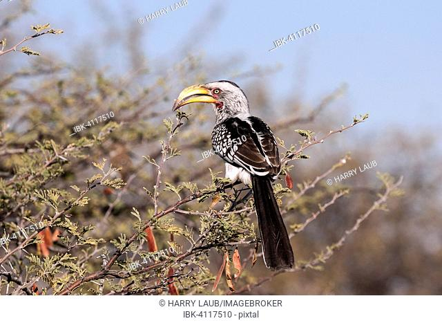Southern yellow-billed hornbill (Tockus leucomelas) resting on a camel thorn tree, Etosha National Park, Namibia