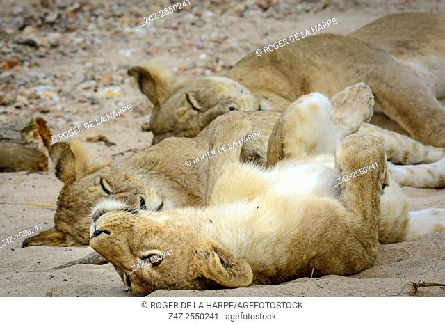 Masai lion or East African lion (Panthera leo nubica syn. Panthera leo massaica) pride sleeping. Ruaha National Park. Tanzania