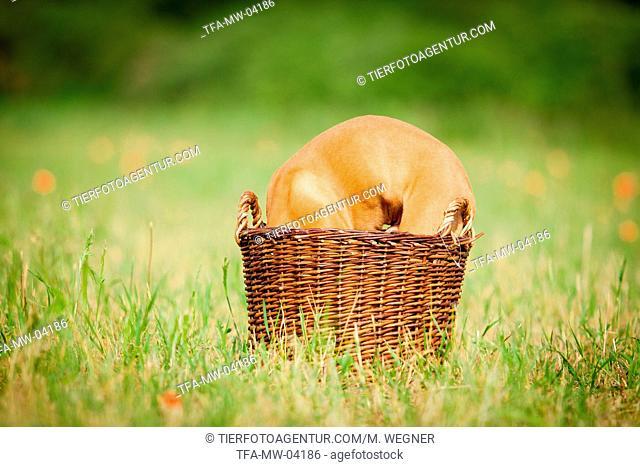Magyar Vizsla Puppy