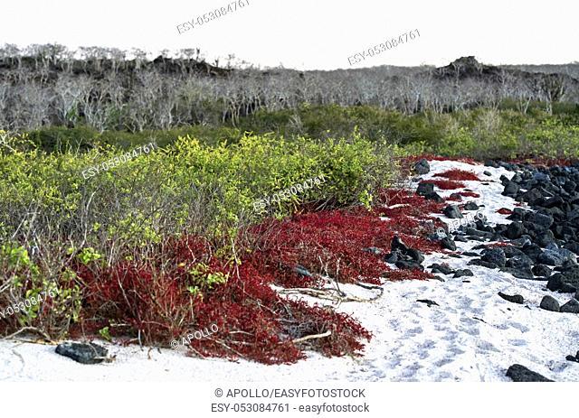 Cost vegetation with Galapagos carpetweed (Sesuvium edmonstonei), an endemic succulent plant, Floreana Island, Galapagos Islands, Ecuador