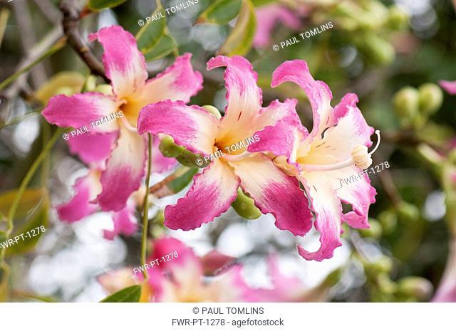 Silk Floss tree, Ceiba speciosa, Several pink tinged white flowers with prominent stigmas