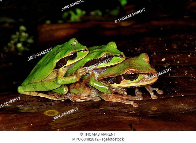 Tarraco Treefrog (Smilisca phaeota) trio in amplexus, Piedras Blancas National Park, Costa Rica