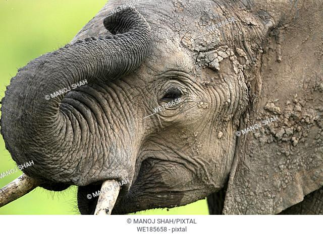Thy trunk of the elephant is a very flexible elongated nose adapted to be used as a 'hand', with an excellent sense of smell Here it is seen how flexible it can...