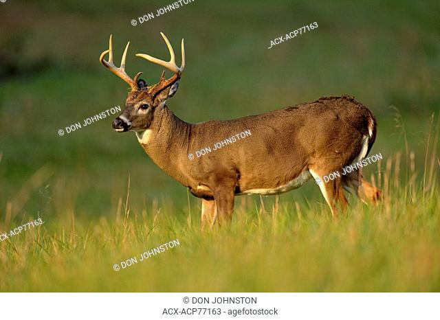 White-tailed deer (Odocoileus virginianus) Stag/buck in Cades Cove, Great Smoky Mountains NP, Tennessee, USA