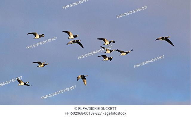 Barnacle Goose Branta leucopsis flock, in flight, Caerlaverock, Dumfries, Scotland, november