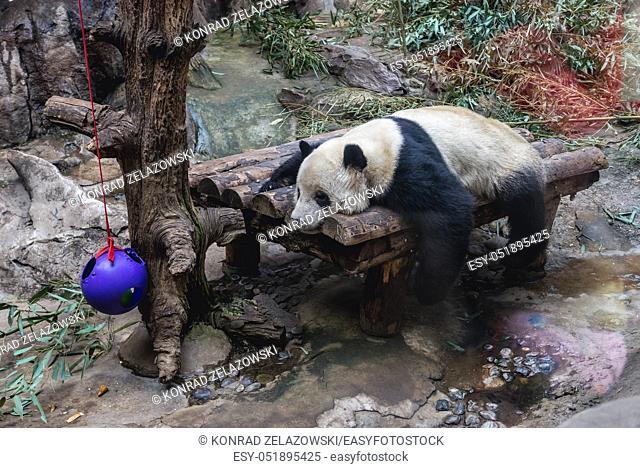 Giant Panda bear in Beijing, capital city of China