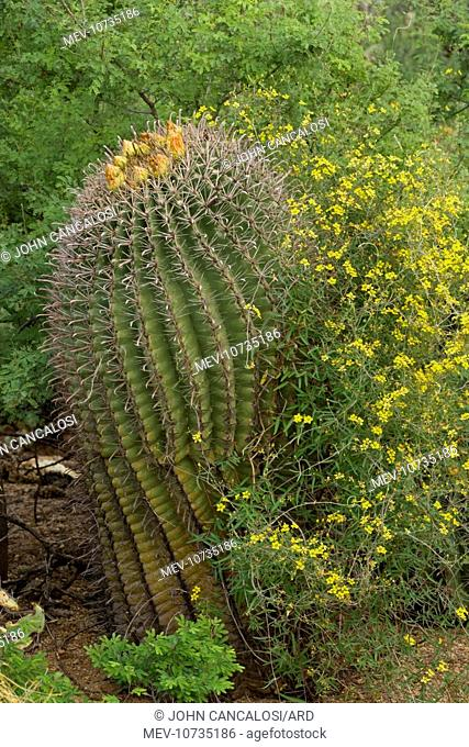 Desert Vine - with Fishhook Barrel Cactus (Ferocactus wislizeni) (Janusia gracilis)