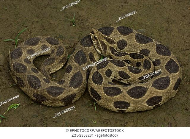 Russell's viper, Daboia russelii, Aarey Milk Colony, INDIA. Russell's viper is a species of venomous snake in the family Viperidae