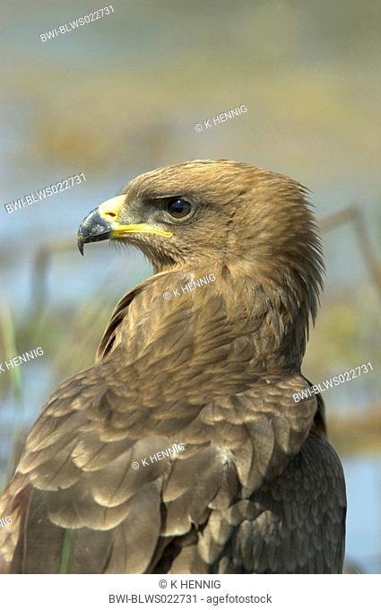 booted eagle Hieraaetus pennatus, portrait, Senegal, Casamance, Jan 05