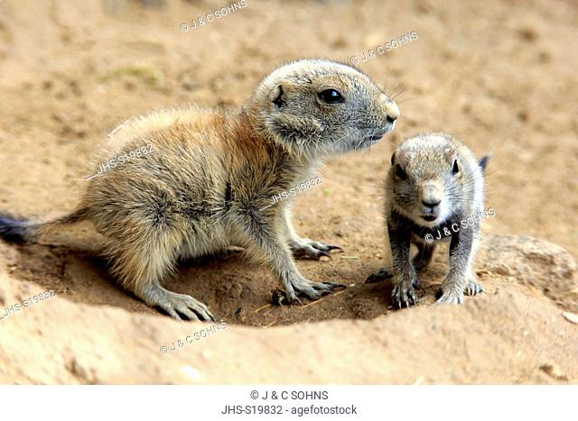 Black Tailed Prairie Dog, (Cynomys ludovicianus), two youngs at den, Northamerica