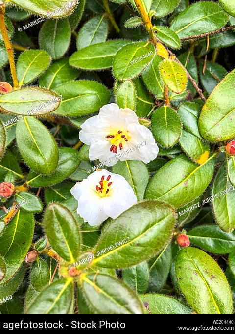 Rhododendron leucaspis is a small shrub, to 1 m; young shoots densely covered with straight bristles. Leaves 3-4. 5 x 1. 8-2