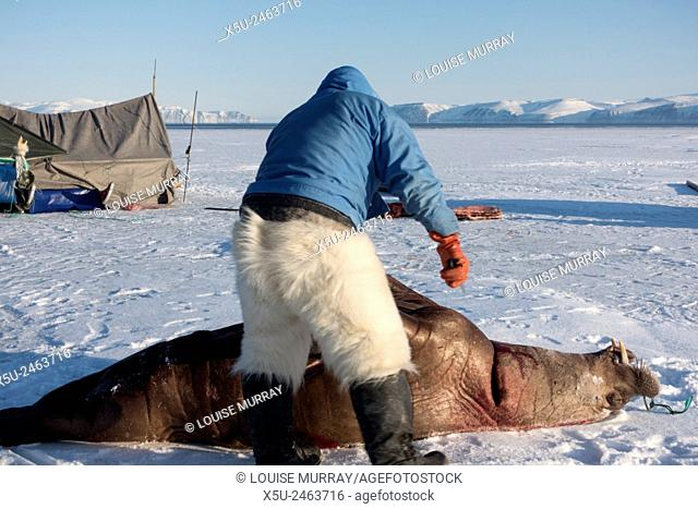 Subsistence inuit hunter preparing to butcher a juvenile Atlantic walrus on the sea ice in spring. The meat will be eaten by both people and their dog teams