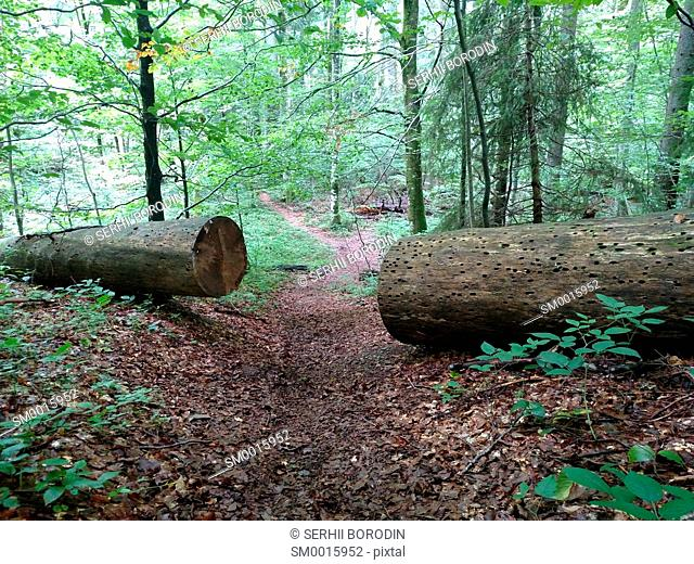 Large sawn tree on two part for pass path Beech broken Obstacle concept Hard life Cleared passage nature